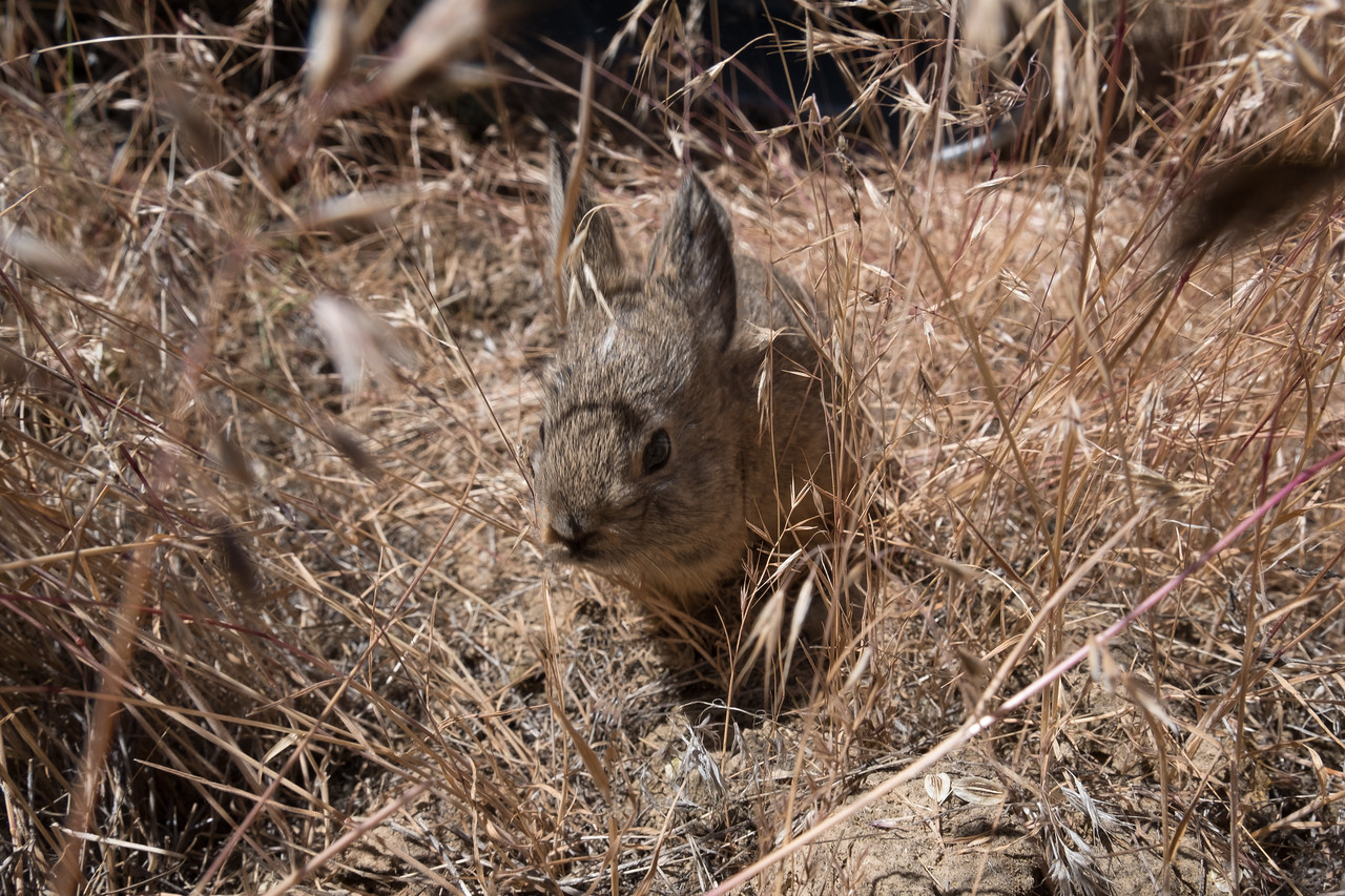Pygmy rabbit in temporary holding enclosure in the wild.